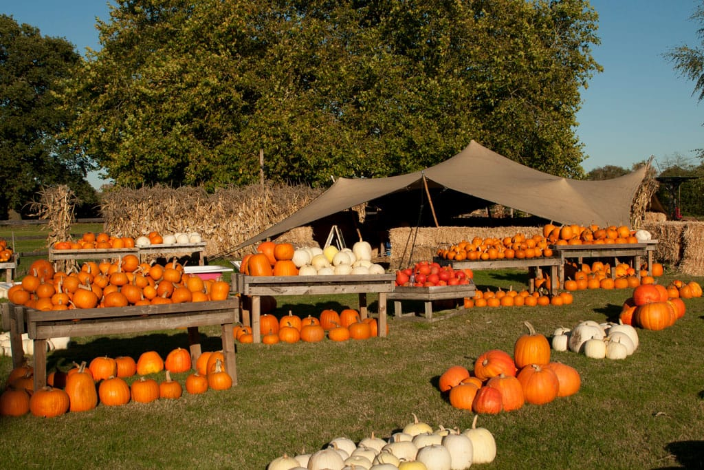 Halloween decor, field with tables and displays of pumpkins