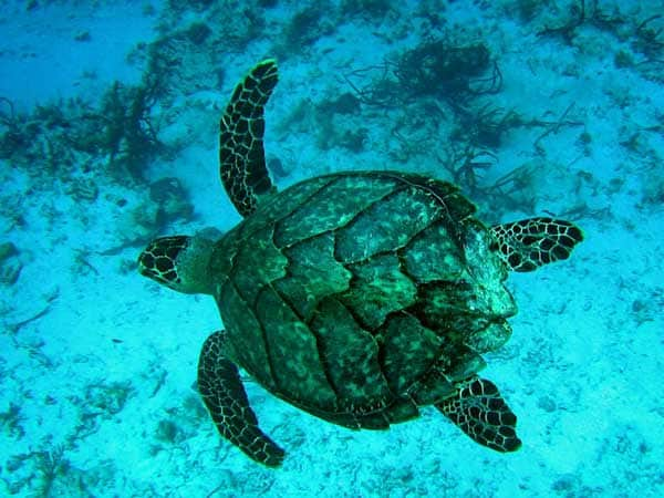 Vietnam, hawksbill turtle off the coast of Phu Quoc Island